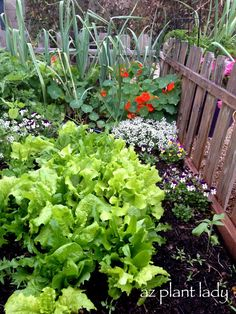 Nasturtiums and alyssum keep bad bugs away from lettuce.  They also make the vegetable garden look pretty.