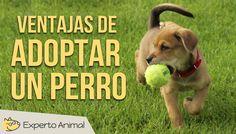 Hola y bienvenidos a Experto Animal. En el vídeo de hoy os vamos a comentar la gran cantidad de ventajas de adoptar y tener un perro como animal de compañía....