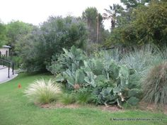 Opuntia gomei 'Old Mexico' mswn tolerates part shade, spineless, wavy edged pads, 4-5'ht x 5-8' w