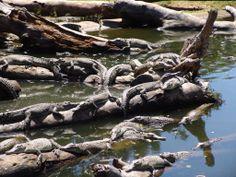 Australian Crocodiles   Northern Territory - Crocodile - Australia - images - Photos ...
