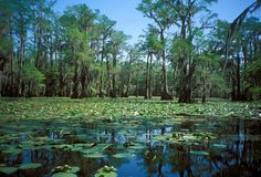 East Texas', Caddo Lake, is 35,000 acres of sloughs, bayous, swamp and cypress trees. A huge natural water forest--beautiful and haunting. Next on our list of parks to visit!