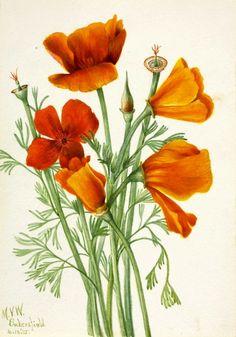 Mary Vaux Walcott, California Poppy 1935