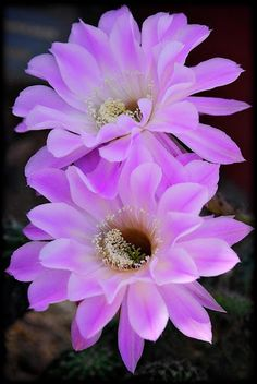 Echinopsis Aurea.   See More Pictures   #SeeMorePictures