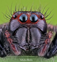Suhendro Chandra II is using the world's most passionate photo sharing community. Spider Face, Jumping Spider, Bugs And Insects, Close Up Photos, Funny Faces, Creatures, Darth Maul, Bird, Macros