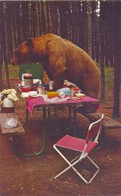 The title on this vintage postcard is Bear Raiding Picnic Table, Yellowstone National Park . I've never been to Yellowstone or encountere. Yellowstone National Park, National Parks, Wyoming Vacation, Big Sky Country, Sleeping Under The Stars, Bear Pictures, Vintage Florida, Love Bear, Camping Life