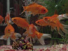 peixes ornamentais 9