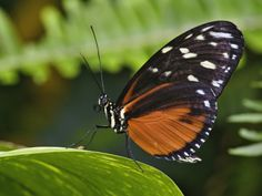 Adam Jones - Golden Helicon Butterfly Heliconius Hecale Photographic Print