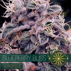 """""""Blueberry Bliss"""" is one of Vision Seeds' truly intoxicating wonders, an amazing auto-flower with Blueberry roots, flavor and in most cases dazzling blueis Medical Marijuana, Cannabis, Weed Pictures, Weed Pics, Cbd Oil For Sale, Seeds For Sale, Hemp Oil, Blueberry, Bliss"""