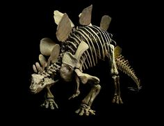 Stegosaurus 150 million years ago, Natural History Museum Dinosaur fossils collected from Como Bluff forever changed America's museums   Read more: http://www.smithsonianmag.com/history-archaeology/101-Objects-that-Made-America-228072031.html#ixzz2iZp7QOZ8  Follow us: @Smithsonian Magazine on Twitter