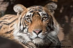 The eyes of a tiger. by Michael Vickers on 500px