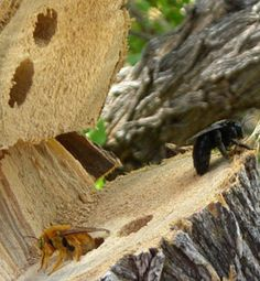 Carpenter Bees Sting #carpenterbees #bumblebee