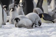 Penguin Love, Cute Penguins, Like Animals, Cute Baby Animals, Cute Birds, Sea Birds, New Chapter, Antarctica, Aesthetic Anime