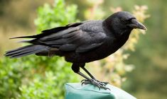 Cuervos, lista de animales más inteligentes del mundo