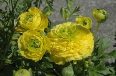 Ranunculus is one of the earliest blooming annuals in the nursery. It adds a cheery burst of colour after the long, cold winter!