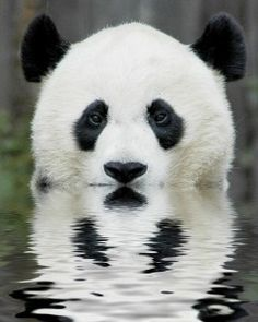Pandas are almost becoming extinct. They are endangered because people are cutting down the bamboo that pandas eat to make farms. Pandas can eat more than kilograms of bamboo a day. Niedlicher Panda, Panda Love, Cute Panda, Hello Panda, Big Panda, Panda Head, Panda China, Panda Funny, Happy Panda