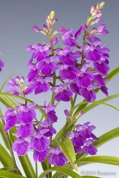 Orchid: Ponerorchis