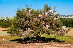 Goats on Argan tree eating fruits near Essaouira, Morocco -    © Rachel Carbonell. Web: www.rachelcarbonell.com The Nomadic Eye Fotoblog: rachelcarbonell.tumblr.com/...
