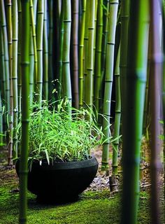 Garden Ideas. Bamboo garden idea - brilliant for privacy from neighbours or as a secret forest to wander through!