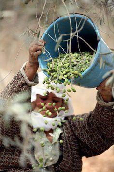 زيتون بلادي أجمل ما يكــونــا Olive harvest, Middle East