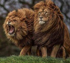 Two Lion Brothers with windswept manes standing side by side, one roaring - Portrait Lion Images, Lion Pictures, Animal Pictures, Nature Animals, Animals And Pets, Cute Animals, Wild Animals, Baby Animals, Beautiful Cats
