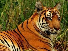 Cyber-poachers hack GPS collar data to pinpoint tigers