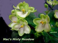 AFRICAN VIOLET PLANT~ MAC'S MISTY MEADOW ~ SHOW WINNING WHITE WITH GREEN EDGES