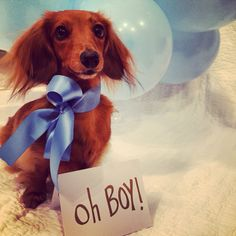 Baby announcement gender reveal with dog dachshund boy pet