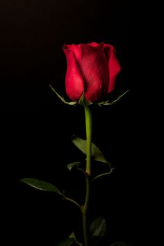 Long stem rose still life. Flowery Wallpaper, Abstract Iphone Wallpaper, Flower Background Wallpaper, Flower Phone Wallpaper, Rose Wallpaper, Flower Backgrounds, Love Rose Flower, Beautiful Rose Flowers, Beautiful Flowers Wallpapers