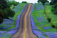 Photo by Texas Peafowl Farm on Facebook.   LOVE, LOVE Texas bluebonnets!
