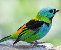 The green-headed tanager (Tangara seledon) is a bird found in the Atlantic forest in south-eastern Brazil, far eastern Paraguay, and far north-eastern Argentina Most Beautiful Birds, Pretty Birds, Photoshopped Animals, Animal Mashups, Funny Animals, Cute Animals, What Is A Bird, Bird Wallpaper, Rare Birds