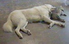 Pictures of the Maremma Sheepdog along with bios on the dogs. Maremma Sheepdog, Dog Breeds Pictures, Livestock, Cute Dogs, Dogs And Puppies, Kitty, Mom, Animals, Clothes