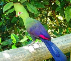 A Knysna Lourie - Plettenberg Bay South Africa Different Birds, Knysna, Where The Heart Is, Wilderness, South Africa, Wildlife, Pets, Animals, Friends
