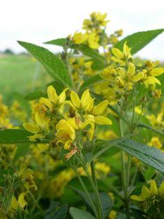 Lysimachia vulgaris - grote wederik - wildebijen.nl - Insectenplanten.nl