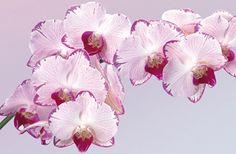 VFS-DFA-258756-orchideen_gross.jpg (320×210)