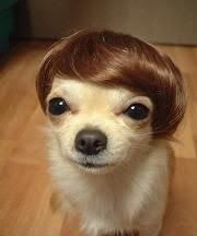 oh my justin bieber, funny dogs, the real, new hair, hair pieces, chi chi, hair looks, little dogs, dog breeds