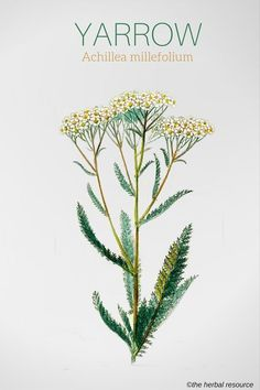 Yarrow Achillea millefolium Put under pillow to dream with true love Healing Herbs, Medicinal Plants, Natural Healing, Natural Herbs, Holistic Remedies, Herbal Remedies, Natural Remedies, Natural Medicine, Herbal Medicine