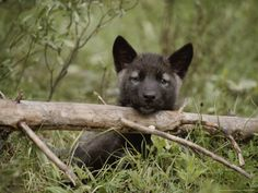 Nine-Week-Old Gray Wolf Pup, Canis Lupus, Peers Over a Log Photographic Print by Jim And Jamie Dutcher at Art.com