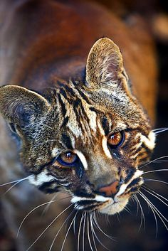 The Asian golden cat, also called the Asiatic golden cat and Temminck's cat, is a medium-sized wild cat of Southeastern Asia.  Scientific name: Pardofelis temminckii Rank: Species Higher classification: Catopuma
