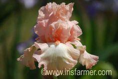 Gorgeous pink tall bearded iris 'Alice Goodman' from Pleasants Valley Iris Farm.