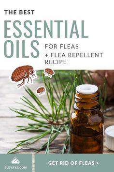 Essential Oil Spray, Essential Oils Guide, Cedarwood Essential Oil, Lemongrass Essential Oil, Essential Oils Fleas Dogs, Flea Treatment For House, Easential Oils, Flea Remedies, Cata