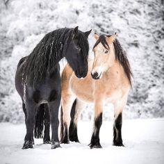 Dølahest and friesian. Horses And Dogs, Cute Horses, Pretty Horses, Horse Love, Wild Horses, Beautiful Horses, Animals Beautiful, Animals And Pets, Cute Animals