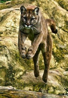 Cougar, America