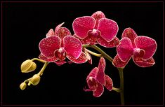 MOTH ORCHIDS 310 by THOM-B-FOTO on deviantART