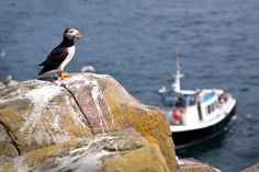 Boat trips to the Farne Islands include cruises to Inner Farne and Staple Island, sunset cruises and all day bird-watching trips. Famous Lighthouses, Northumberland Coast, Farne Islands, Out To Sea, Close Encounters, Short Break, Fishing Villages, Sea Birds, Coastal Cottage