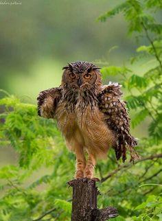 ♡♡♡ Beautiful Indian Eagle Owl Photo by Kedar Potnis India 22 Dec. 2015 ♡♡♡