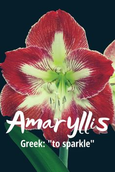 """Amaryllis is a modern underused beautiful flower name with Greek origin meaning, """"to sparkle"""". Though it rhythms with Phyllis it carries none of the granny vibes that Phyllis has and is perfect for a modern baby. It was not ranked in the top 1000 baby names for girls in 2018.  #flowernames #girlnames #uniquenames Modern Baby Girl Names, Baby Names, Beautiful Flower Names, Flower Names For Girls, Unique Names, Writing Resources, Greek, Sparkle, Plants"""
