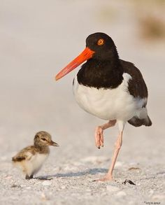 American oystercatcher and chick (Haematopus palliatus), occasionally called the American Pied Oystercatcher, is a member of family Haematopodidae.