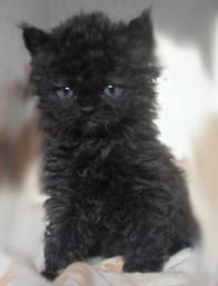 Selkirk Rex ♥ How adorable!!!!