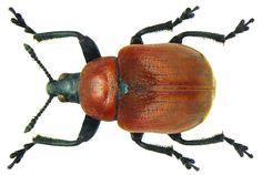 Family: Attelabidae Size: 4-6,5 mm Origin: Siberia to Europe Ecology: development on quercus Location: Germany, Bavaria, Upper Franconia, Kasendorf leg.det. U.Schmidt, 3.VI.1972 Photo: U.Schmidt, 2012