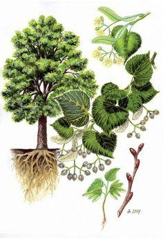 Lípa srdčitá / malolistá (Tilia cordata) Science Illustration, Tree Illustration, Flower Garden Drawing, Plant Fungus, Vintage Botanical Prints, Flower Coloring Pages, Tree Forest, Garden Trees, Science And Nature